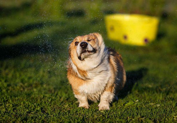 Helteillä koiraa kannattaa kastella tasaisin väliajoin, ettei se läkähdy kuoliaaksi. Kuvituskuva.