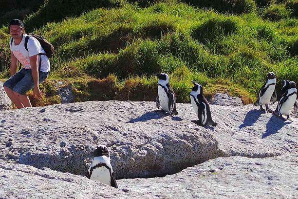 Kippari Jani Laine soluttautumassa pingviinien joukkoon Boulders Beachilla, Kapkaupungissa.