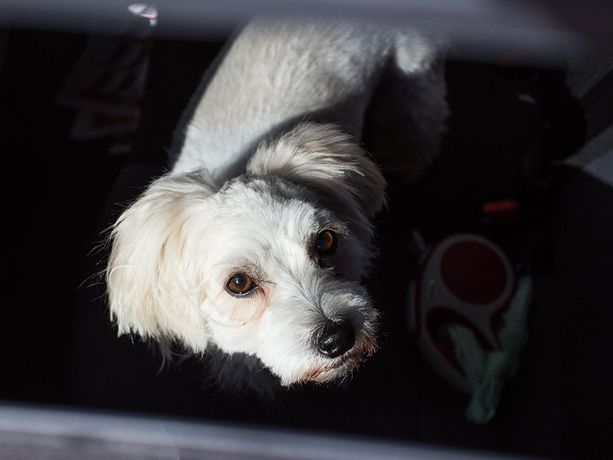Koira menehtyi kuumaan autoon Utajärvellä. Kuvan koira ei liity tapaukseen.