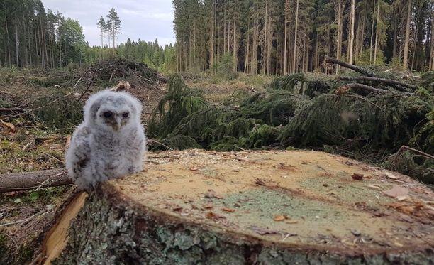 Harmaavalkoinen lehtopöllön poikanen menetti monien muiden lintujen tavoin pesäpuunsa metsän avohakkuissa.