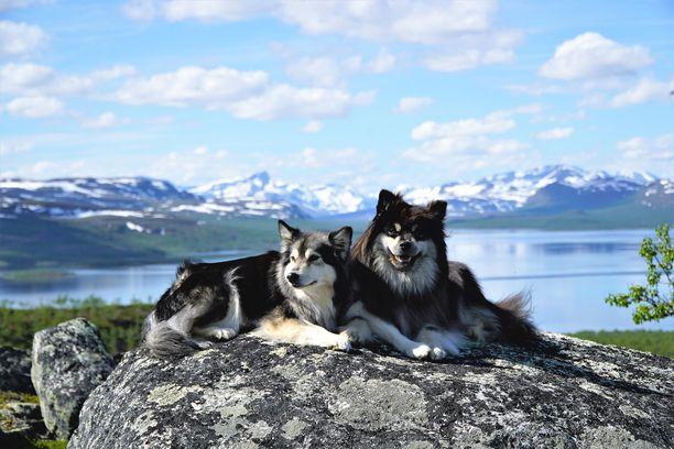 Elsa ja Äijä ovat suomenlapinkoiria.