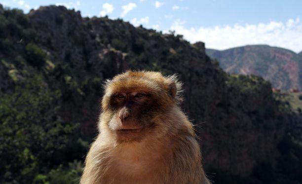 Atlas-vuoristossa Ouzoudin putouksilla on paljon apinoita.