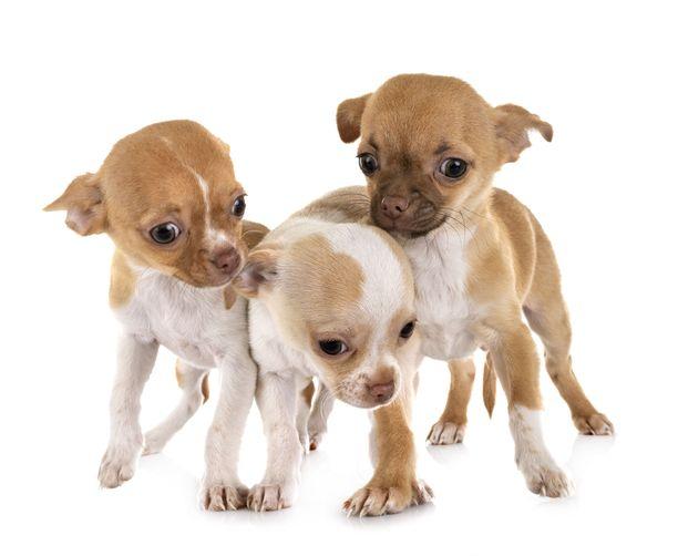 Chihuahuat ovat pikkuruisia koiria.