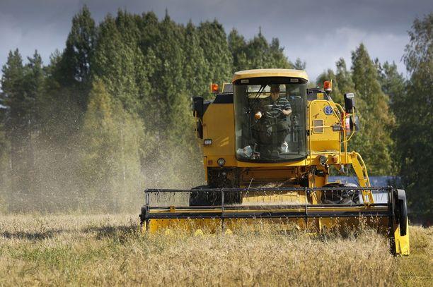 Alueittain voi viljasadossa ja viljan laadussa olla suuria eroja. Arkistokuva vuodelta 2012 Tammelasta.