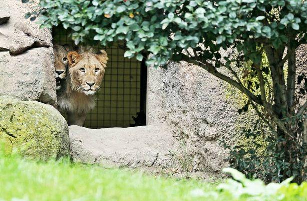 Urosleijonat Motshegetsi (vas.) ja Majo karkasivat aitauksestaan Leipzigin eläintarhassa.