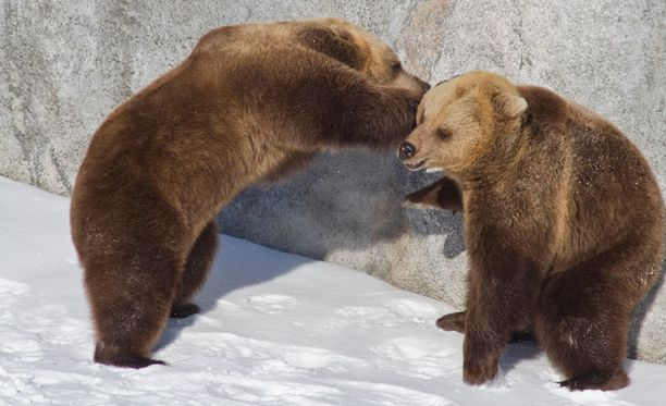 Karhut pääsivät vihdoin talviunilta telmimään.