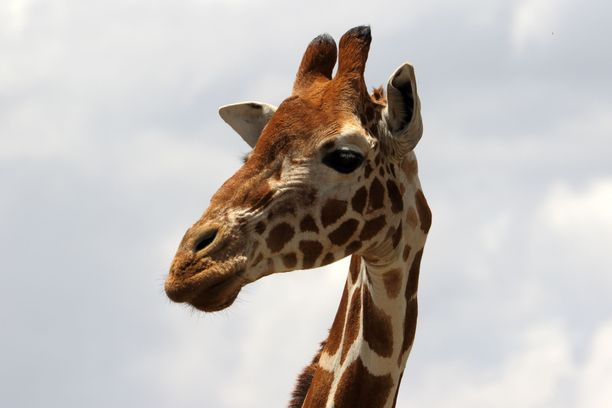 Maailman korkeimman maanisäkkään suojelu nytkähti hieman eteenpäin. Kuvassa kirahvi Keniassa.