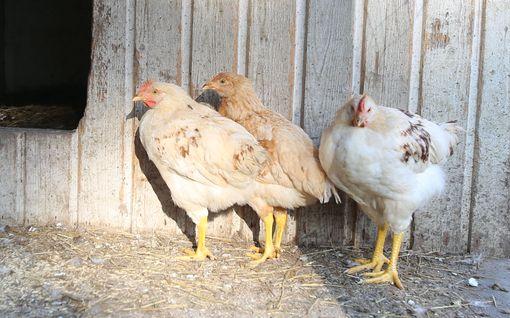 Sirpa yllättyi: kuistilta löytyi kolme aliravittua ja kesyä kananpoikaa – hylkäsikö joku kesäkanat?