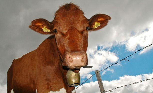 Lehmät ovat superbakteereille hyvä paikka elellä.