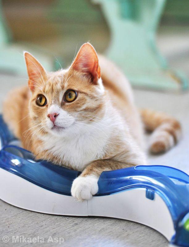 Vaasan kissatalon asukkaat ovat pelastettuja, hylättyjä lemmikkejä.
