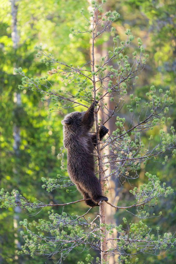 Pieni karhu selvisi kiipeämisseikkailustaan kunnialla.