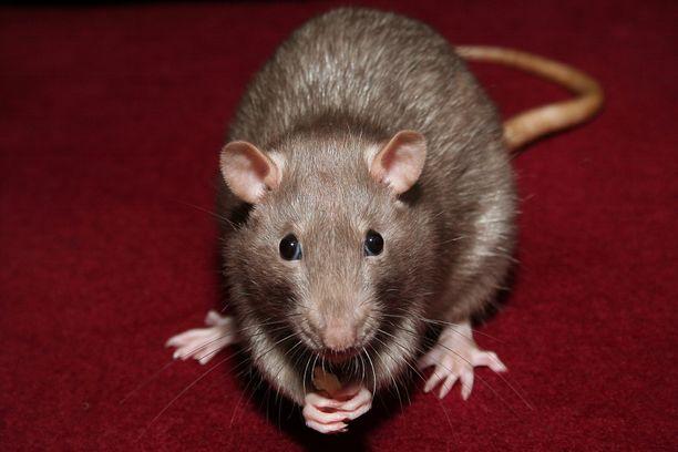 Japanissa kokeita ruvetaan tekemään rotilla ja hiirillä. (Kuvituskuva)