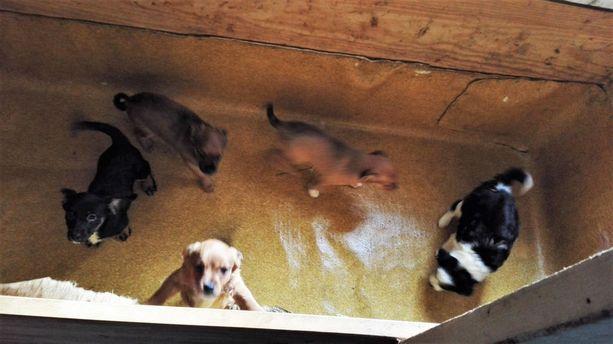 Helsingissä asuva nainen toi laittomasti maahan satoja koiria. Kuvan pennut eivät liity kyseiseen tapaukseen.