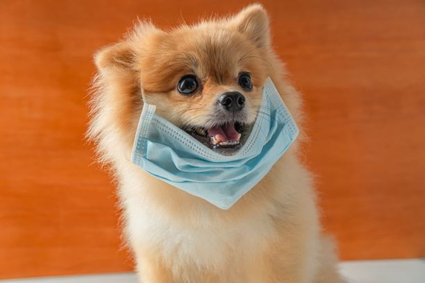 Koronaviruksen vuoksi ei kannata koiralle kasvosuojaa kirsun eteen virittää.