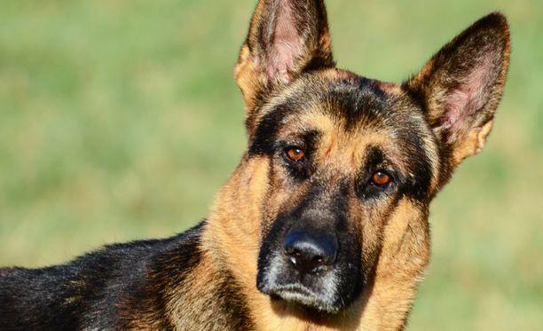 Susikoira Roi ( ei oikeasti, siitä ei löytynyt kuvia, joten tässä joku toinen koira).