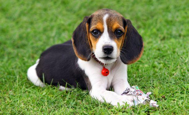 Eläinlääkäriliiton mukaan mainonnassa tulisi käyttää vain terveitä koiria. Kuvituskuva.