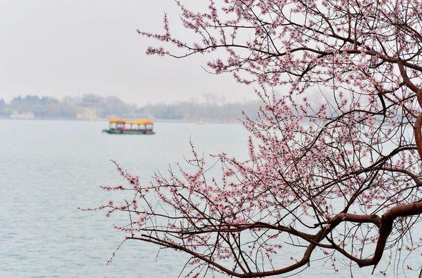 Kirsikkapuut kukkivat jo Pekingissä.