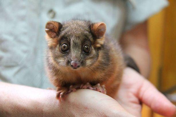 Opossumi on Uudessa-Seelannissa vieraslaji ja siitä halutaan eroon.