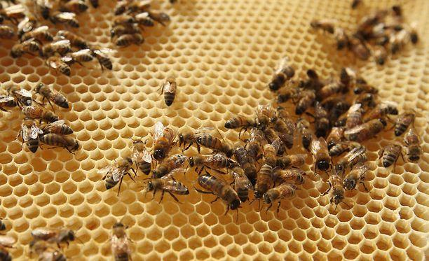 Mehiläiskannat ovat romahtaneet ympäri maailmaa, mutta syy siihen on ollut tutkijoille mysteeri.