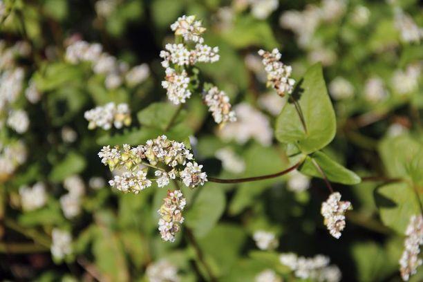 Kotimaisten kasviperäisten proteiininlähteiden kuten tattarin tunnettuuden lisäämisessä on vielä työnsarkaa.