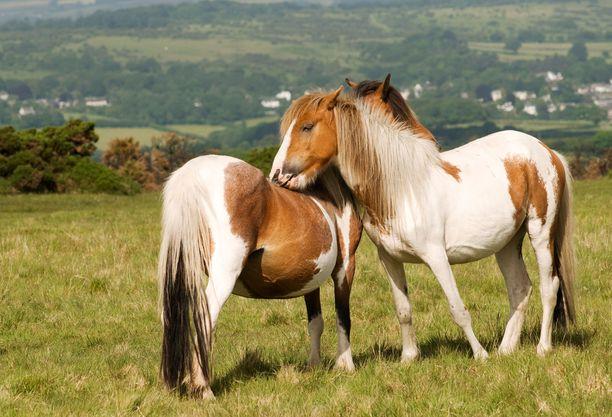 Dartmoorinponi ovat vahvarakenteinen ponirotu Devonin alueelta Britanniasta. Nämä ponit eivät liity tapaukseen.
