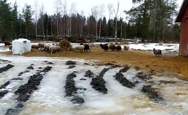 Pohjalaisella tilalla on lampaiden lisäksi nautoja ja kanoja. Eläinten huonosta pidosta on tehty useita ilmoituksia, mutta ongelmat jatkuvat. Vapaaehtoinen eläinsuojeluneuvoja kuvasi eläinten olot videolle viime viikolla.