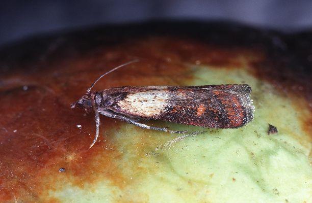 Keittiökoisat eli intianjauhokoisat munivat monenlaisiin paikkoihin, kuten myös keittiön kaapistojen halkeamiin.