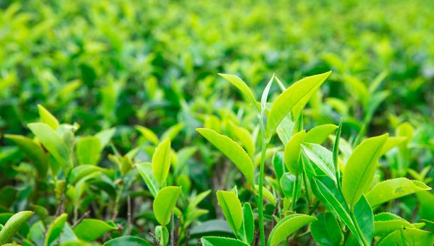 Tutkitut plantaasit toimittavat teetä suurimmille suomalaisille teetaloille Forsman Tealle ja Nordqvistille sekä kansainvälisille teebrändeille kuten Twiningsille ja Unileverille. Kuvituskuva.