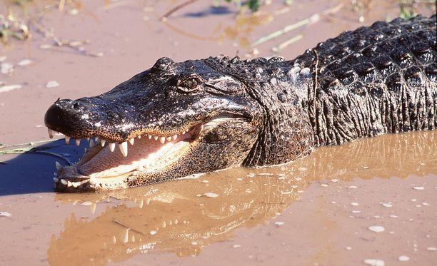 Alligaattoreilla on meneillään lisääntymiskausi, ja ne ovat hyvin aggressiivisia. Arkistokuva.