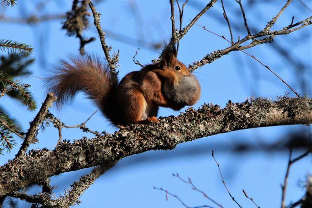 Seija Allonen seurasi kamerallaan oravan ja sen poikasen matkaa oksistossa.