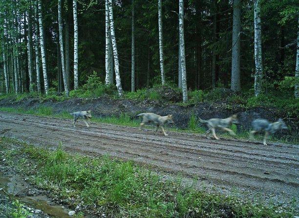 Neljän pennun kesäkirmaus tallentui paikallisen metsästysseuran riistakameraan pari viikkoa sitten.