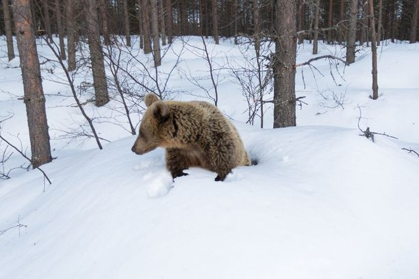 Karhu kömpimässä ulos pesästään. Kamerat nappaavat kuvia satunnaisesti liiketunnistimen avulla.