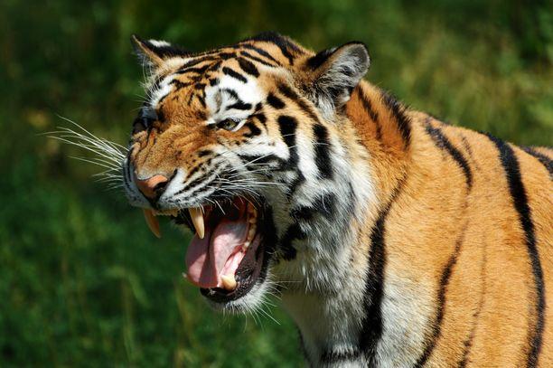Intiantiikeri on maailman yleisin tiikerien alalaji. Kuvituskuva.