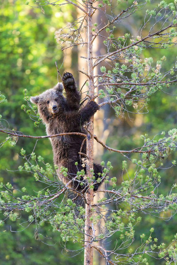 Karhu yritti päästä mahdollisimman korkealle. Kun korkeus oli hyvä, se kääntyi katsomaan paikalle saapunutta saksalaista valokuvaajaa.