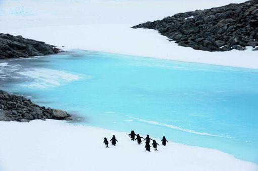 Adeliepingviinejä taapertamassa ryhmässä järvelle arkistokuvassa.