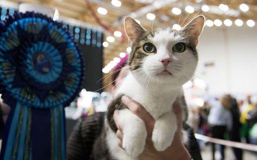 Suomesta löytyy maailman kuusi kauneinta kissaa - katso voittajan videohaastattelu
