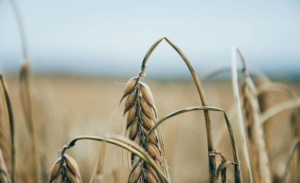 Kevätvehnän sadon arvioidaan jäävän noin puoleen normaalista.