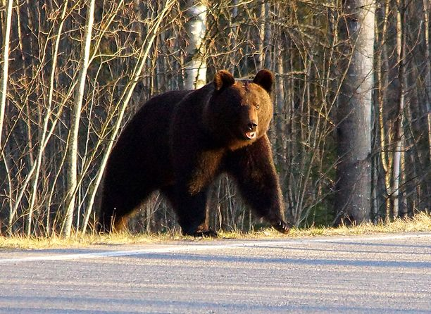 Loukkaantunutta karhua ja sen neljää pentua on etsitty tuloksetta. Kuvituskuva.