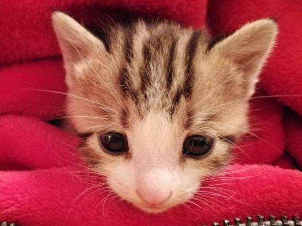Roskalaatikosta löytyneen Kissun ikä oli löydettäessä 4-5 viikkoa.