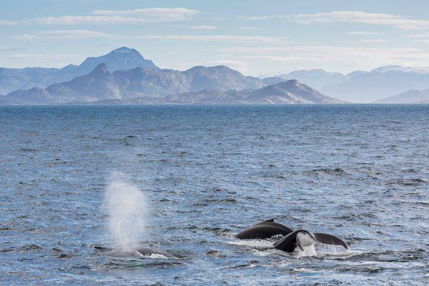 Matkailijoille järjestetään retkiä, joiden aikana pääsee ihailemaan valaita.
