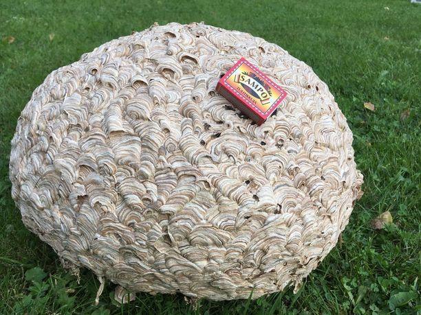 Kari vei ampiaispesän nurmikolle kuvattavaksi. Vertailukohtana tulitikkurasia.