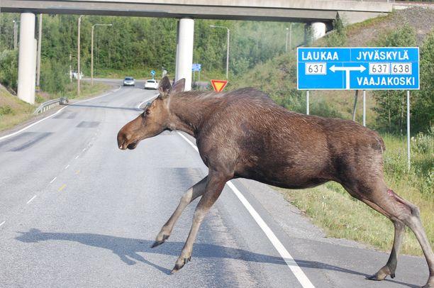 Poliisi arvioi, että hirvi olisi voinut aiheuttaa vakavaa vaaraa liikenteelle Tampereen keskustassa. Kuvan hirvi ei liity tapaukseen.
