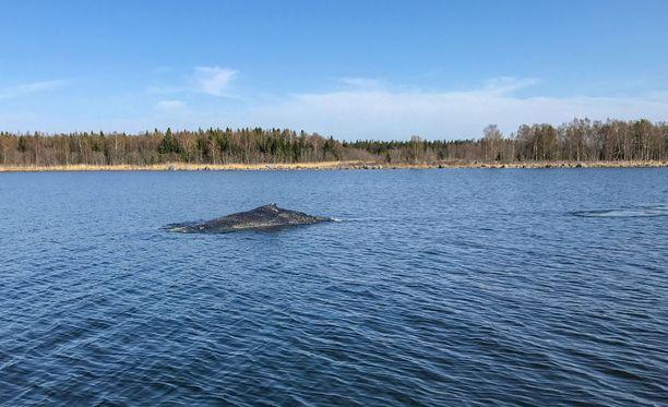 Merivartioston kuvaama ryhävalas Rauman edustalla toukokuussa.