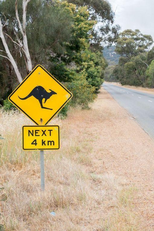 Robottiauton painajainen Australiassa: kenguru, joka ei juokse vaan pomppii.