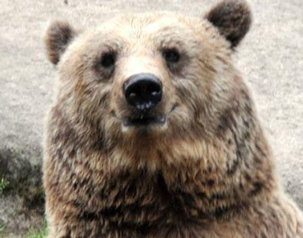 Karhujen käyttäytymiseen vaikuttaa keväällä myös muun muassa kiima-aika.