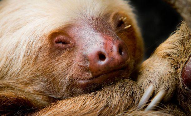 Coco selvisi tömähdyksestä tiettävästi suuremmitta vammoitta. Ainakin sille maistui ruoka, jota voi eläintarhan mukaan pitää positiivisena merkkinä. Kuvituskuva.