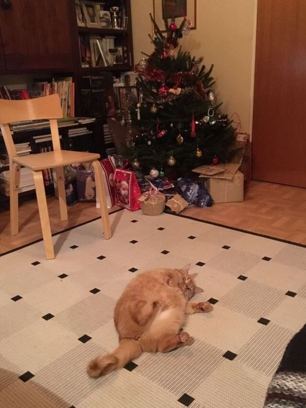 Kyllä on lepposta! 5-vuotias urjalalaiskissa söi itsensä jouluna aivan ähkykuntoon.