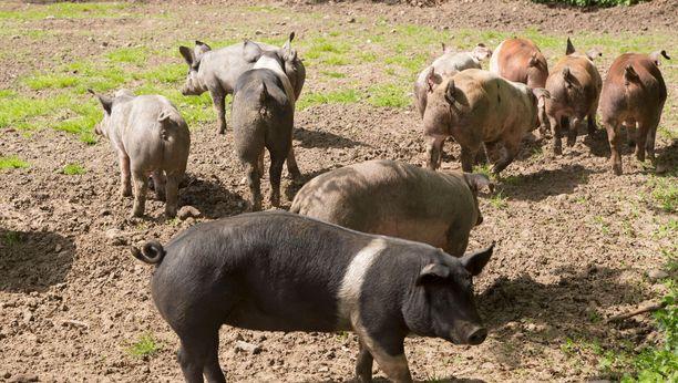 Miehen siat saivat käyskennellä vapaasti tilalla. Kuvituskuva.