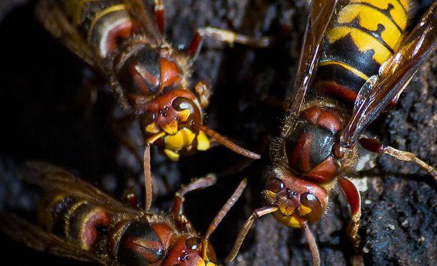 Herhiläiset ovat Euroopan kookkain ampiaislaji.