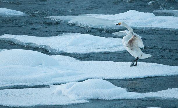 Tämän talven toistaiseksi kylmin lämpötila, - 37,1 mitattiin helmikuun neljäntenä Utsjoen Kevojärvellä. Tämä laulujoutsen sinnitteli 30 asteen pakkasessa Kuusamossa vuonna 2012.
